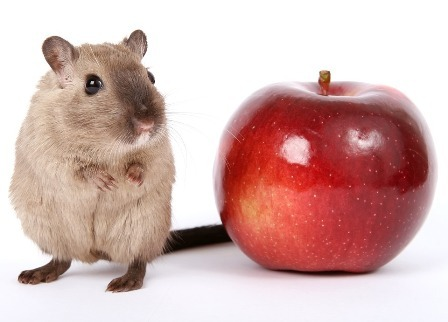 can hamsters eat apple