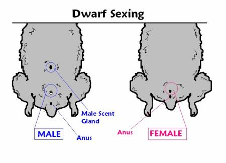how to tell what sex my dwarf hamster is